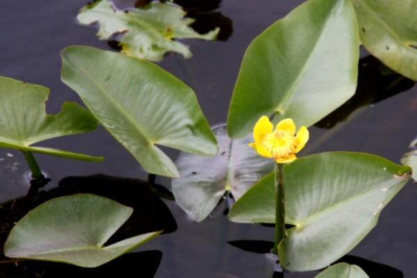 Nuphar sagittifolia [(Walter) Pursh] - Cape-Fear-Teichrose