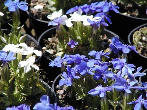 Gentiana verna [L.] - Frühlingsenzian