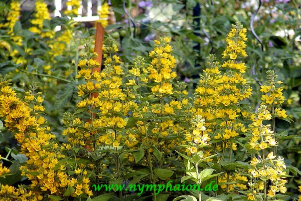 Lysimachia vulgaris [L.] - Gemeiner Gilbweiderich