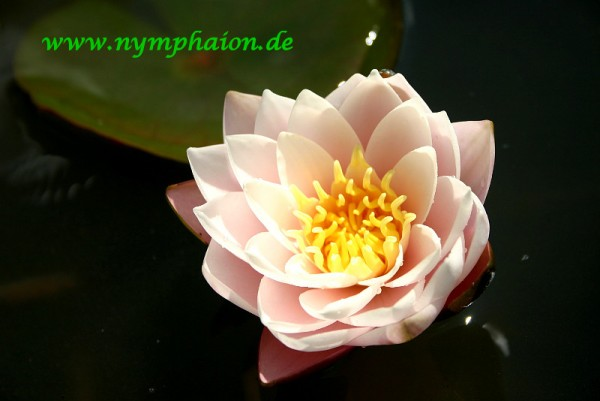 Nymphaea `Chubby` - Winterharte Seerose