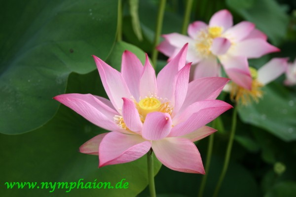 Nelumbo `Joyfull Baby` - Lotus