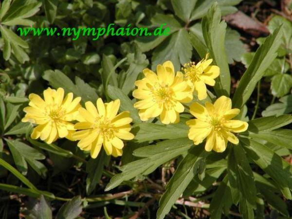 Anemone ranunculoides [L] - Gelbes Windröschen