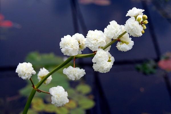 Sagittaria latifolia `Plena` - Gefülltes Pfeilkraut