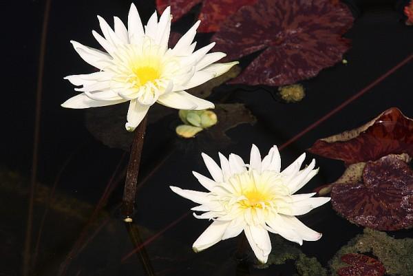 Nymphaea `Rachel Presnell` - Tropische Seerose