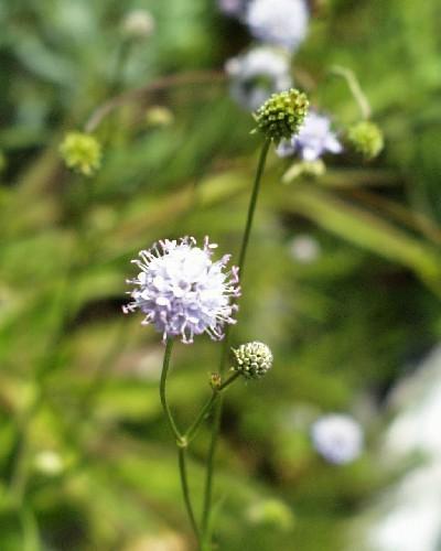 Succisella inflexa [Kluk] - Moorabbiss