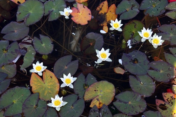 Nymphaea pygmaea [(Salisb.) W.T. Aiton] - Winterharte Seerose