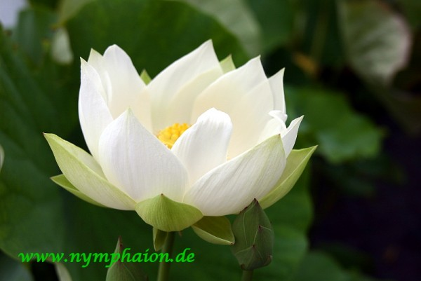 Nelumbo `Angel Wings` - Lotosblume