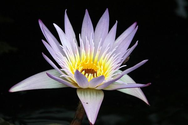 Nymphaea `Madame Ganna Walska` - Tropische Seerose