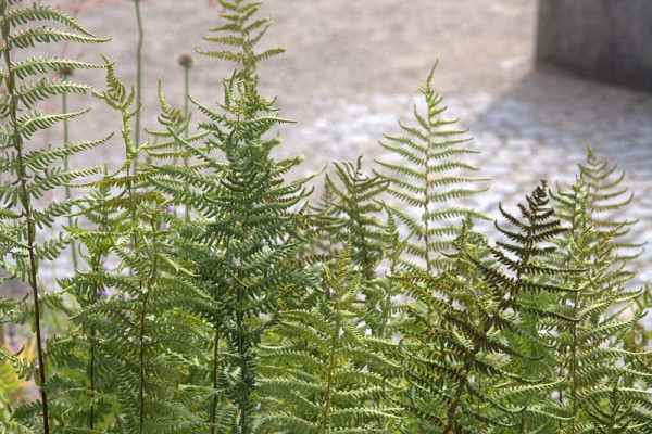 Thelypteris palustris [Schott] - Sumpf-Lappenfarn