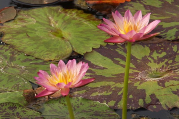 Nymphaea 'Albert Greenberg Beste Klone' - Tropische Seerose