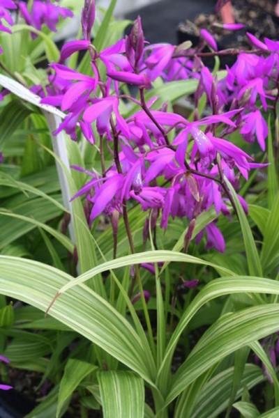 Bletilla striata 'Variegata' - Japanorchidee