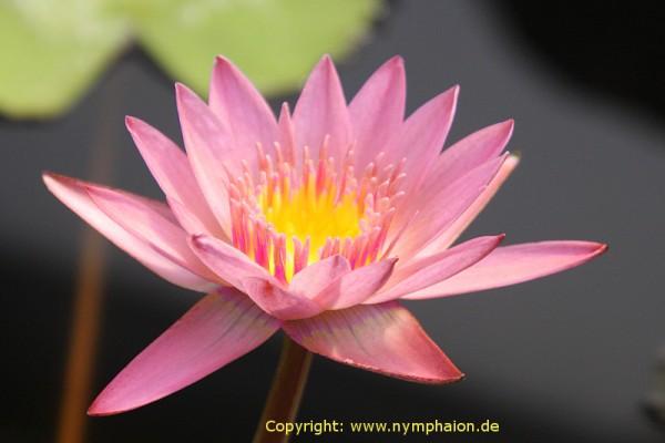 Nymphaea `Apricot Pink` - Tropische Seerose