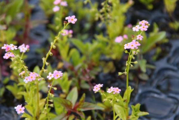 Myosotis palustris `Pinkie` - Sumpfvergissmeinnicht