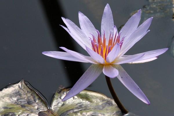 Nymphaea `Tanglewood Blue` - Tropische Seerose