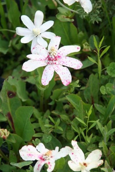Anemopsis californica [(Nutt.) Hook. et Arn.] - Eidechsenschwanz