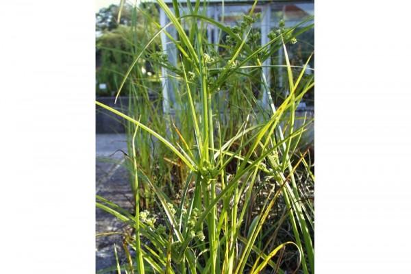 Cyperus eragrostis [Lam.] - Frischgrünes Zypergras