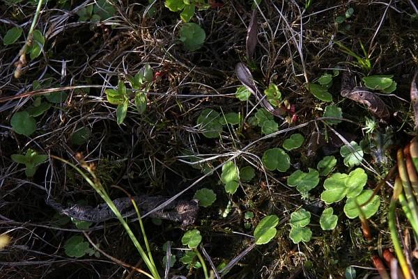 Hydrocotyle vulgaris [L.] - Wassernabel