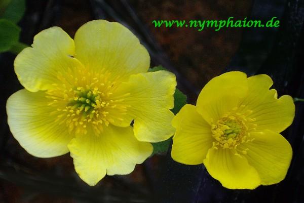 Caltha polypetala 'Tyermannii' - Sumpfdotterblume