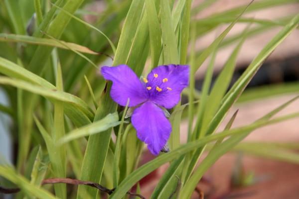 Tradescantia x andersoniana `Leonora` - Garten-Dreimasterblume