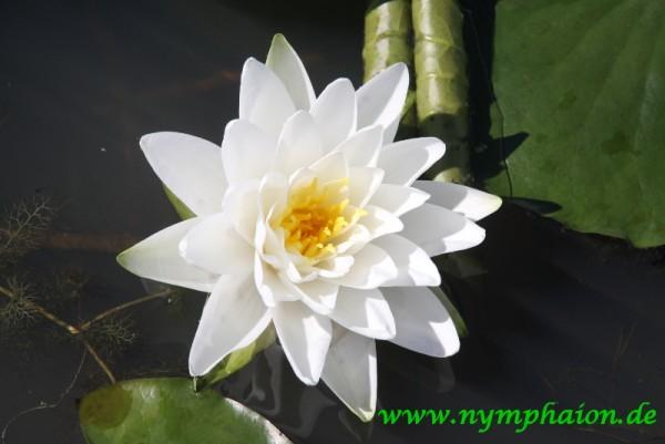 Nymphaea `Perry`s Double White` - Winterharte Seerose
