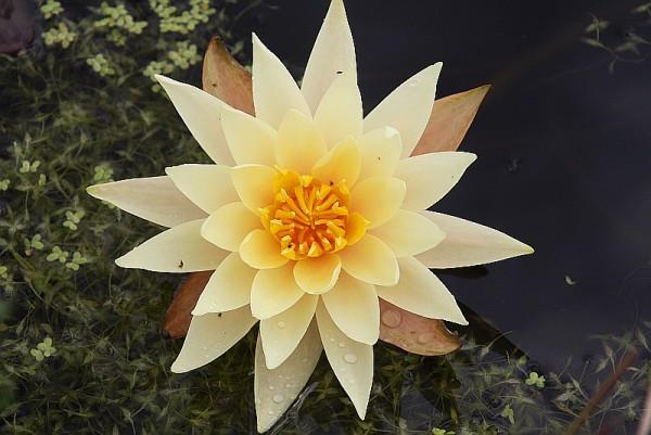 Nymphaea `Hawaiian Gold` - Winterharte Seerose