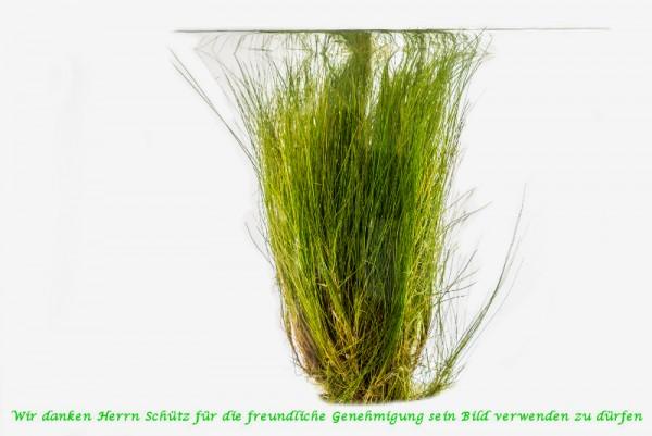 Eleocharis acicularis [(L.) Roem. & Schult.] - Nadelsimse