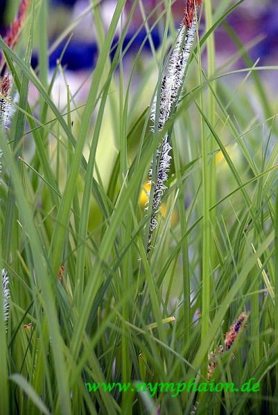 Carex nigra [(L.) Reichard] - Wiesensegge