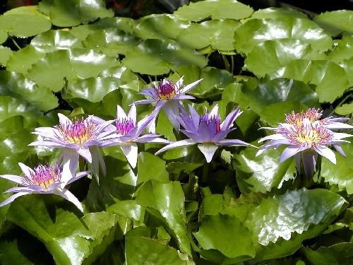 Nymphaea colorata [Peter.] - Tropische Seerosenknolle