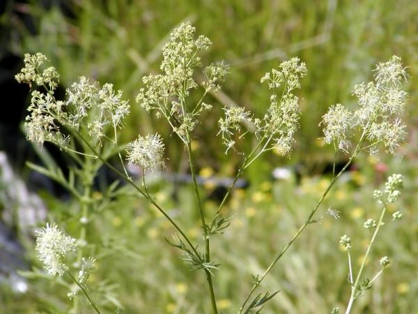 Thalictrum lucidum [L.] - Glänzende Wiesenraute