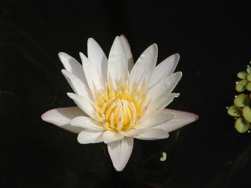 Nymphaea `Josephine` - Tropische Seerose
