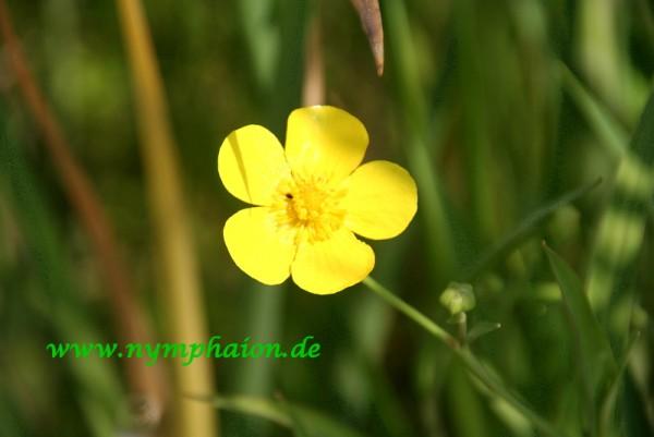 Ranunculus lingua [L.] - Zungenhahnenfuß