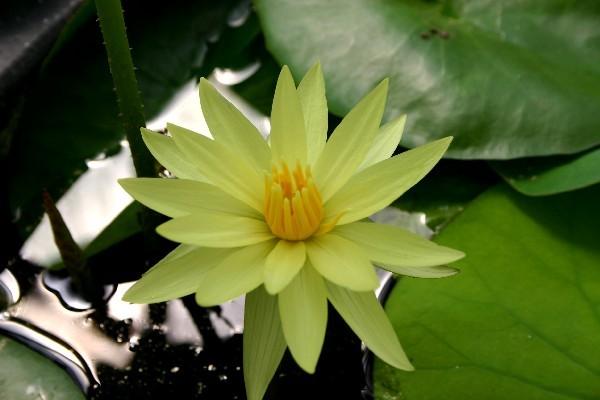 Nymphaea `St. Louis Gold` - Tropische Seerose