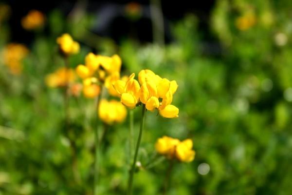 Lotus uliginosus [Schkuhr] - Sumpfhornklee