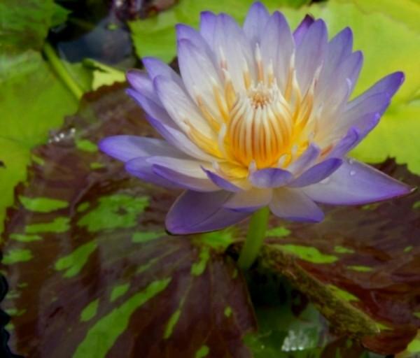 Nymphaea `Ambrosia` - Tropische Seerose