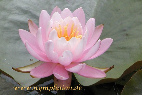 Nymphaea `Perry`s Pink Beauty` - Winterharte Seerose