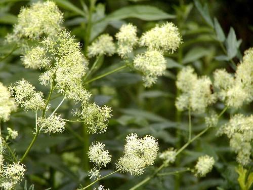 Thalictrum flavum. ssp glaucum [(Desf.) Batt.] - Blaugrüne Wiesenraut