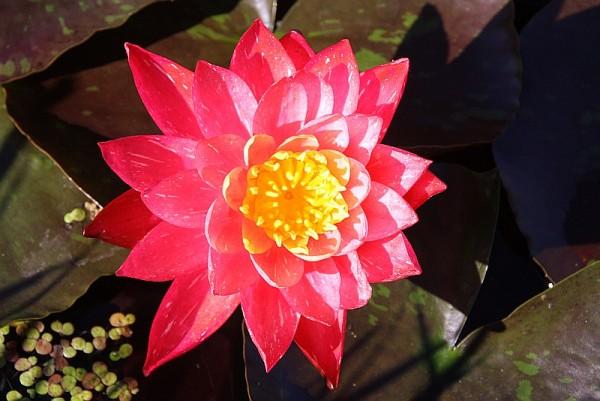 Nymphaea `Wanvisa`- Winterharte Seerose