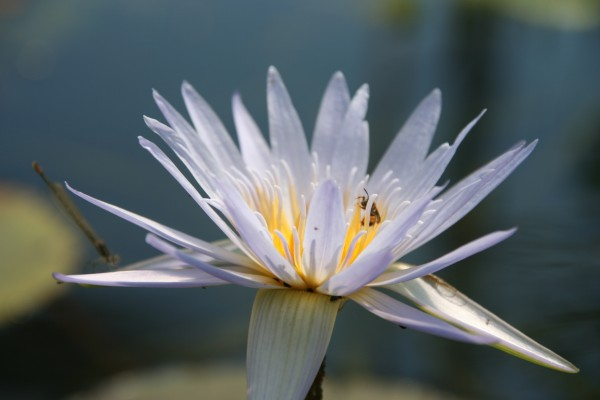 Nymphaea capensis [Thunb.] - Kap-Seerose