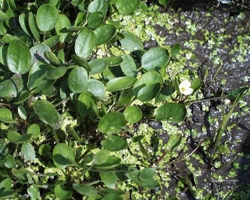Luronium natans [(L.) Raf.] - Froschkraut
