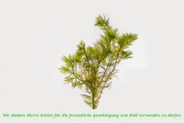 Hottonia palustris [L] - Wasserfeder