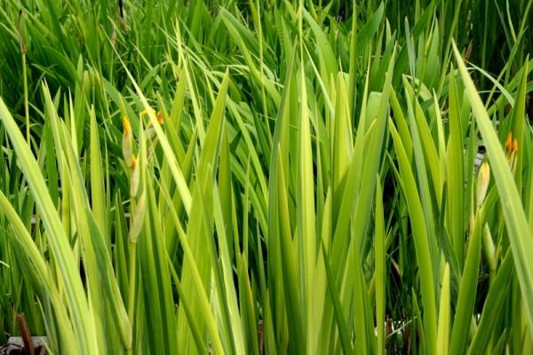Iris pseudacorus `Variegata` - Wasserschwertlilie