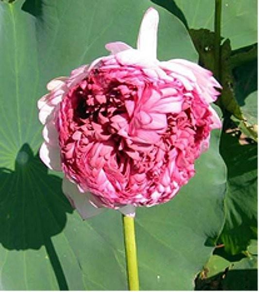 Nelumbo `Tausend Blütenblätter` - Lotos