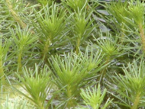 Myriophyllum propinquum [A. Cunn.] - Neuseeland-Tausendblatt