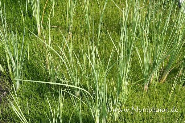 Typha minima [Funck ex Hoppe] - Zwergrohrkolben