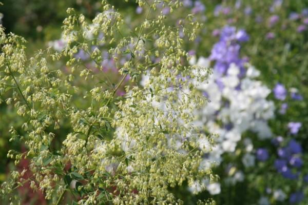 Thalictrum sachalinense [Lecoyer] - Sachalin-Wiesenraute