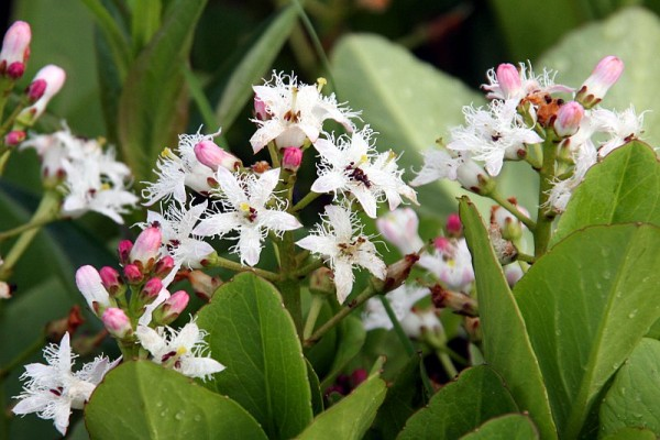 Menyanthes trifoliata [L.] - Fieberklee