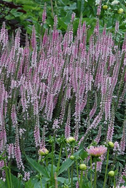 Veronica longifolia 'Pink Damast'- Langblättriger Ehrenpreis