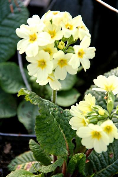 Primula amoena [M.Bieb.] - Liebliche Primel
