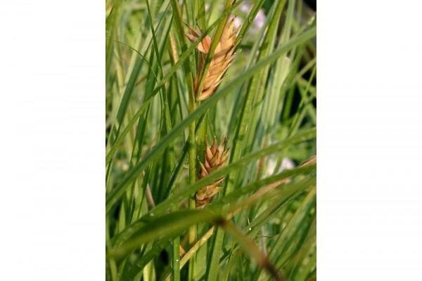 Carex hordeistichos [Vill.] - Gerstensegge