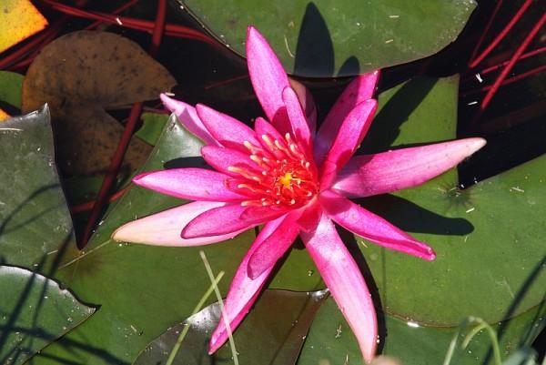 Nymphaea `Hidden Violet` - Winterharte Seerose